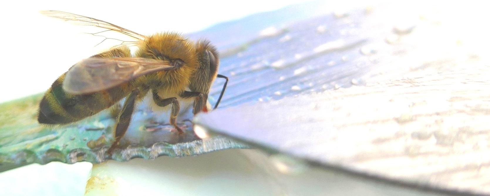 Honigbiene auf Messer