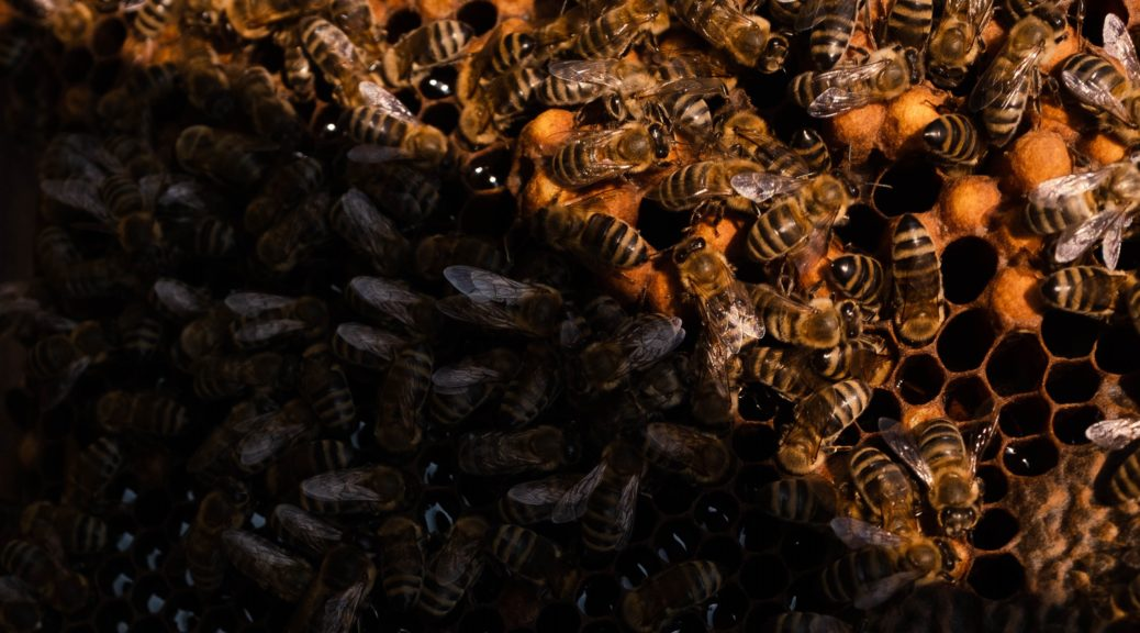 Close-up of bees on a frame